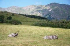 Duas vacas fotos de stock royalty free