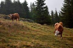 Duas vacas imagem de stock royalty free