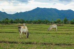 Duas vacas Foto de Stock