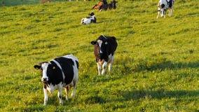 Duas vacas de leiteria andam para a câmera vídeos de arquivo