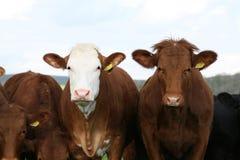Duas vacas de ordenha Fotos de Stock Royalty Free