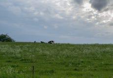 Duas vacas e naturezas fotografia de stock royalty free