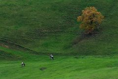 Duas vacas e uma árvore Fotos de Stock Royalty Free