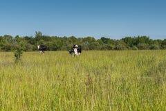 Duas vacas e uma vitela no pasto Fotografia de Stock Royalty Free