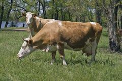 Duas vacas em uma floresta Fotos de Stock