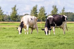 Duas vacas holandesas que pastam em um campo Fotos de Stock Royalty Free