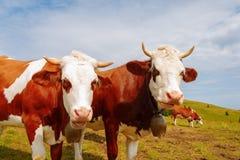 Duas vacas marrons da montanha com sinos e chifres Foto de Stock