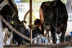 Duas vacas na exploração agrícola de leiteria e em um homem estão ordenhando a vaca preta foto de stock royalty free