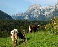 Duas vacas na montanha verde fotos de stock