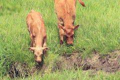 Duas vacas novas Imagens de Stock