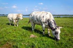 Duas vacas novas com os chifres que pastam junto na grama fresca Foto de Stock