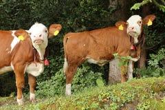 Duas vacas novas curiosas Fotografia de Stock