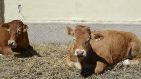 Duas vacas que colocam na terra e que mastigam fora filme