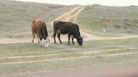 Duas vacas que comem a grama verde ao pastar no campo Vacas que andam no campo verde vídeos de arquivo