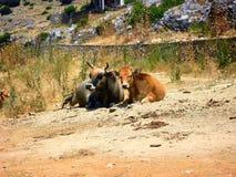 Duas vacas que descansam na terra Imagens de Stock