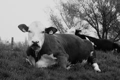 Duas vacas que encontram-se no prado Fotos de Stock Royalty Free