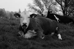 Duas vacas que encontram-se no prado Imagem de Stock Royalty Free