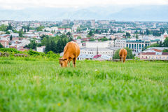 Duas vacas vermelhas que pastam em um prado suculento Foto de Stock Royalty Free