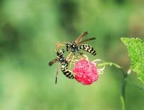 Duas vespas perigosas dos insetos voaram no jardim para o aroma o fotografia de stock royalty free