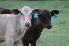 Duas vitelas imagem de stock royalty free