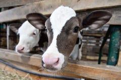 Duas vitelas bonitos Fotografia de Stock