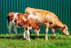 Duas vitelas novas Fotografia de Stock Royalty Free