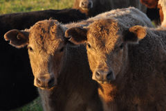 Duas vitelas que enfrentam a câmera na luz morna da tarde Imagem de Stock