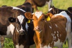 Duas vitelas que pastam em um campo Fotografia de Stock