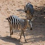 Duas zebras Fotografia de Stock