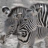 Duas zebras fotos de stock royalty free