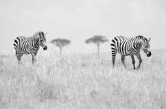 Duas zebras Imagem de Stock