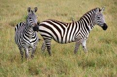 Duas zebras Imagem de Stock Royalty Free