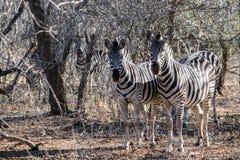 Duas zebras Imagens de Stock Royalty Free