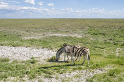 Duas zebras Foto de Stock