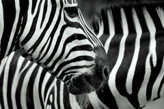 Duas zebras Imagens de Stock