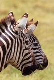 Duas zebras, cratera de Ngorongoro, Tanzânia Imagens de Stock