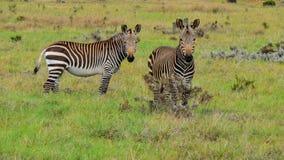 Duas zebras de montanha curiosas do cabo Imagem de Stock