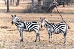 Duas zebras em Kenya foto de stock