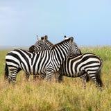 Duas zebras, a harmonia Imagens de Stock
