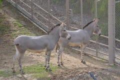 Duas zebras novas Fotografia de Stock