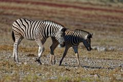 Duas zebras novas que andam junto de lado a lado foto de stock royalty free