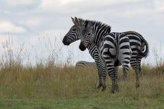 Duas zebras que estão nas pastagem de Masai Mara, Kenya, África imagens de stock