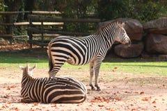 Duas zebras que estão no jardim zoológico em nuremberg imagens de stock