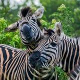 Duas zebras que jogam e que têm o divertimento Foto de Stock Royalty Free