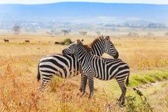 Duas zebras que jogam um com o otro em África do Sul fotografia de stock