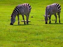 Duas zebras que pastam fotografia de stock
