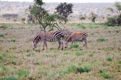 Duas zebras que pastam Imagens de Stock Royalty Free