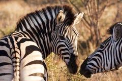Duas zebras que tocam nos narizes Fotografia de Stock