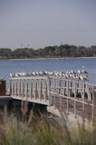 Dubai 11. A beautiful image of a large number of seagulls sitting on the railing of a boat dock Stock Image