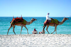 Dubai beach. Camels passing by on a Dubai Jumeirah beach